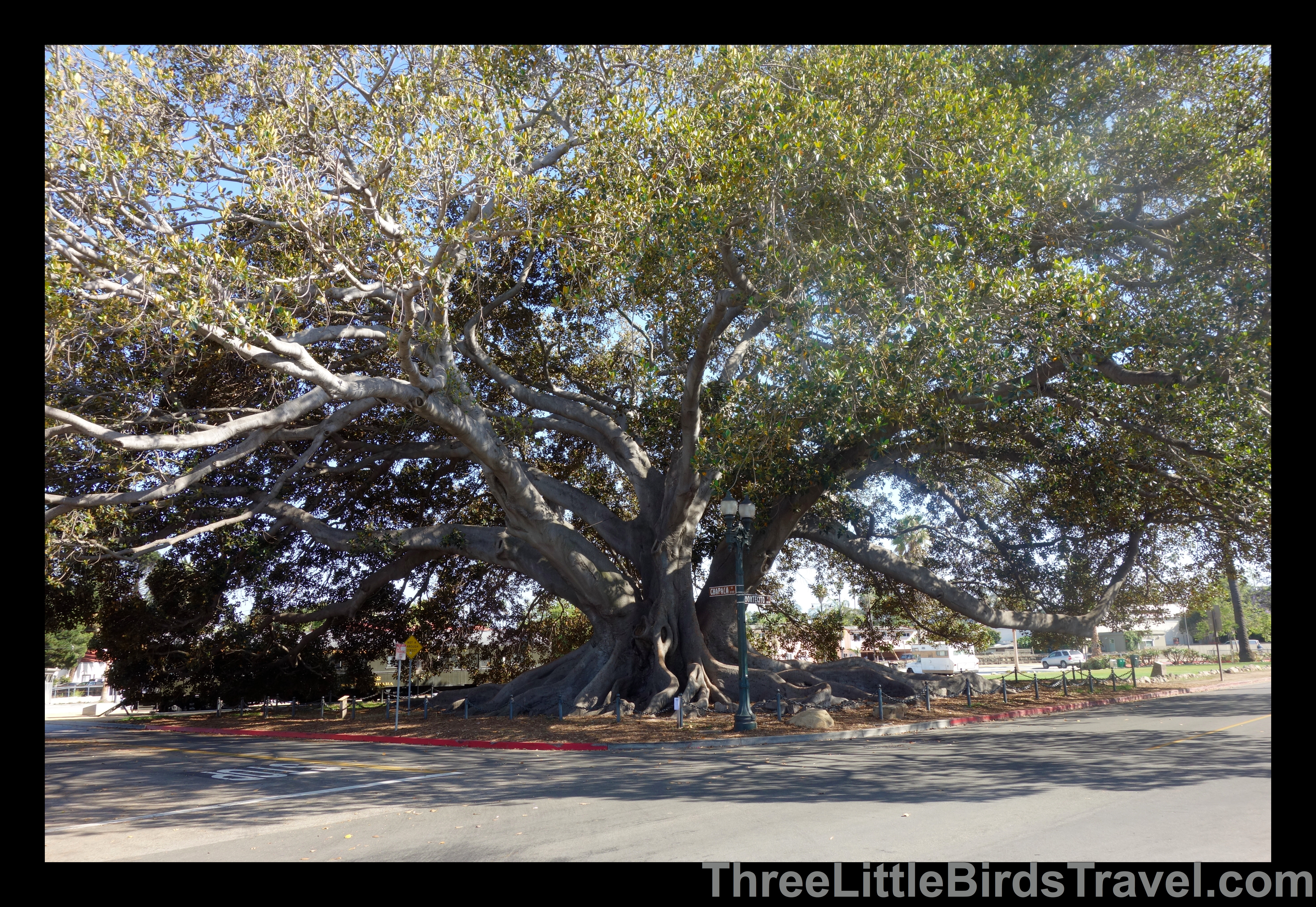 Find The Largest Fig Tree In The Us Moreton Fig Tree