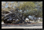Find the largest Fig Tree in the US (Moreton Fig Tree, Santa Barbara, California)