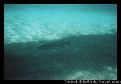 Scary Barracuda